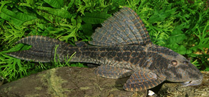 Hypostomus latifrons, juvenile and adult (photo: Ingo Seidel)