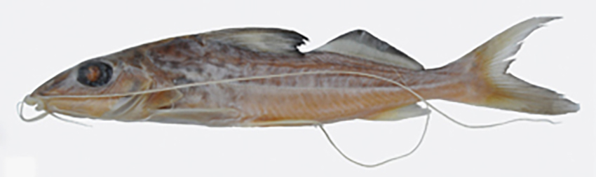 Iheringichthys megalops (photo from publication)