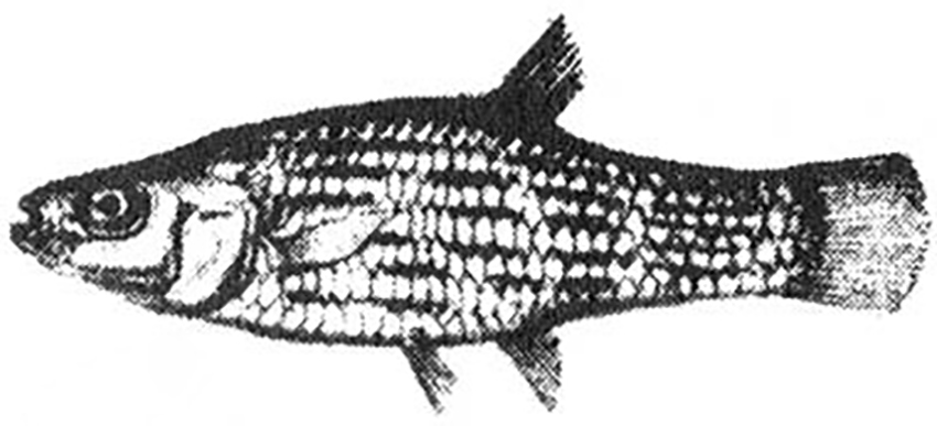 Jenynsia lineata (drawing from Jenyns, 1842)