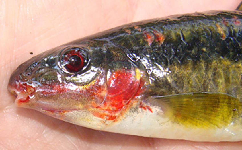 Leporinus amae from Fortaleza creek (photos from publication)