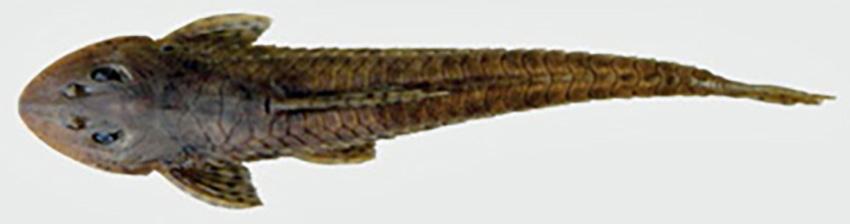 Loricariichthys platymetopon (photo: Wilson S. Serra, from publication)