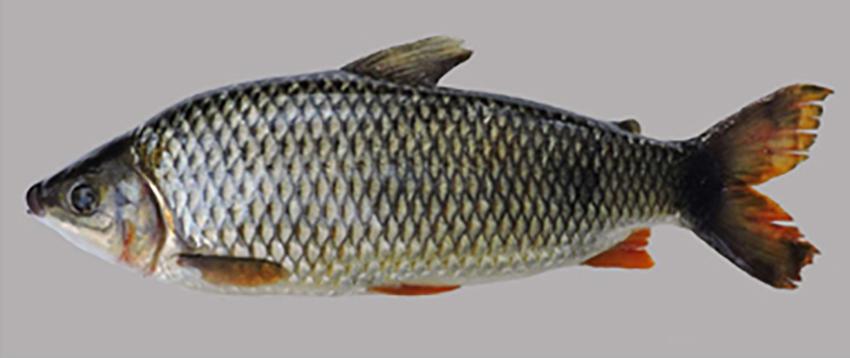 Megaleporinus piavussu (photo from publication)