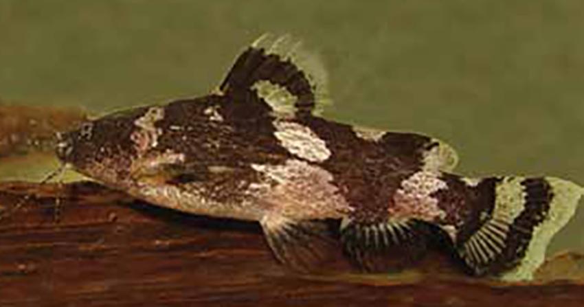 Microglanis carlae (photo from publication)