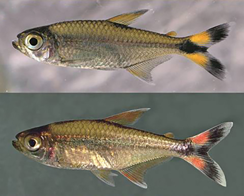 Moenkhausia bonita (photos from Vanegas-Ríos et al., 2019)