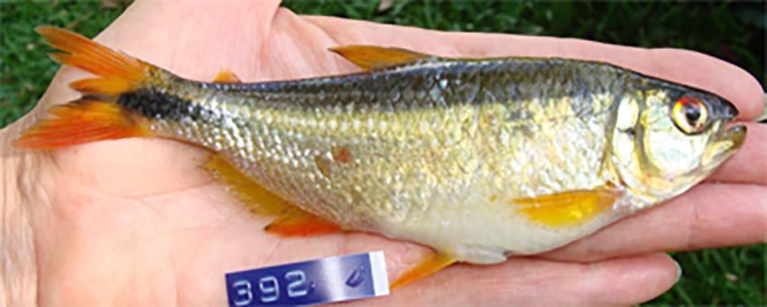 Oligosarcus amome, female paratype (photo from publication)
