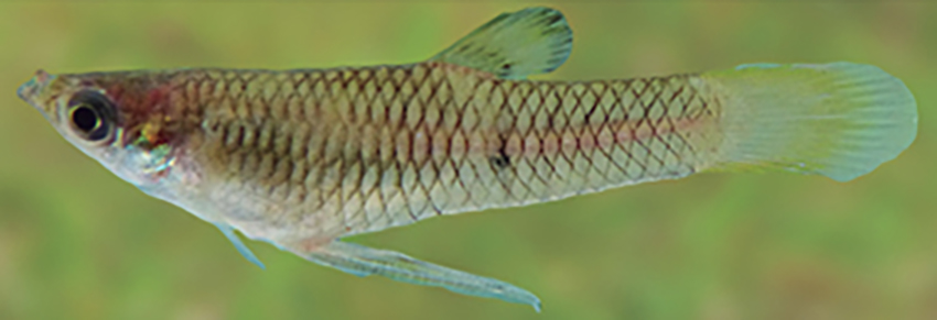 Phalloceros harpagos, male (photo from Casciotta et al. 2016)
