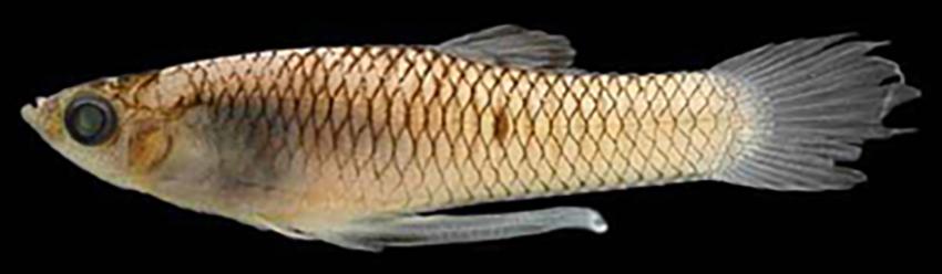 Phalloceros harpagos, male and female (photos from Baumgartner et al. 2012)