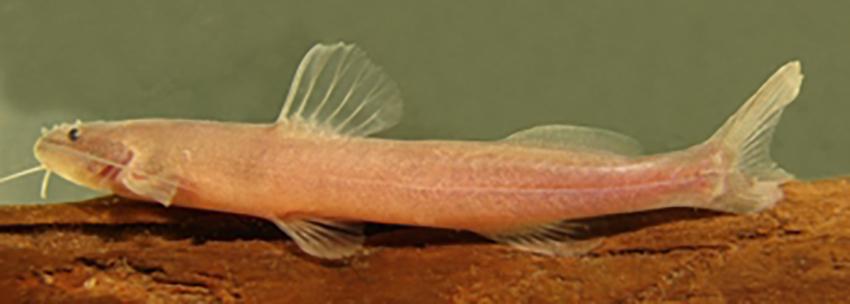 Phenacorhamdia tenebrosa (photo from publication)