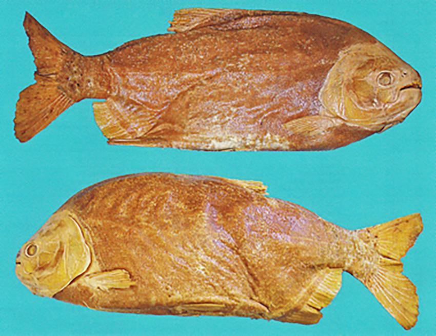 Piaractus mesopotamicus (photo from publication)