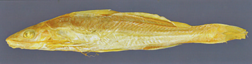Pimelodella gracilis (photo from publication)