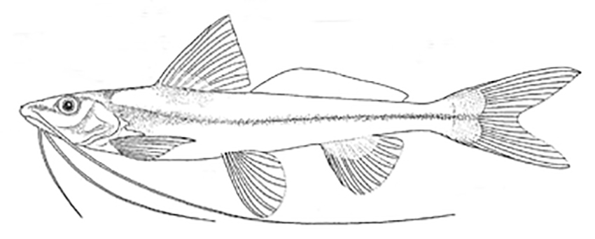 Pimelodella howesi (drawing from Fowler's description)