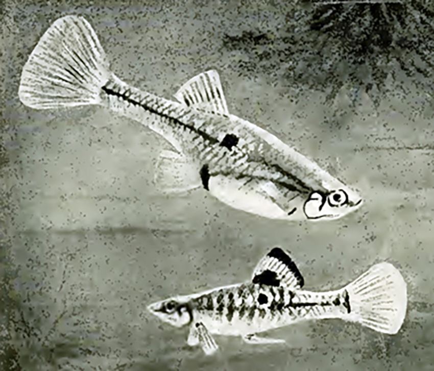 Poecilia vivipara (drawing from Stansch 1914)