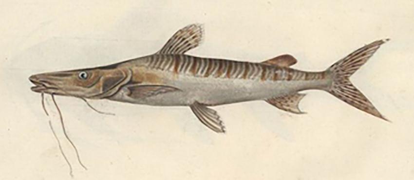 Silurus fasciatus - Pseudoplatystoma fasciatum (drawing Bloch)