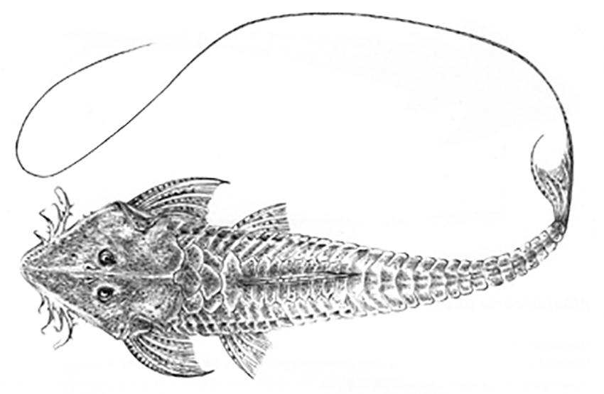 'Pyxiloricaria menezesi' (drawing from Gonzo, 2003)