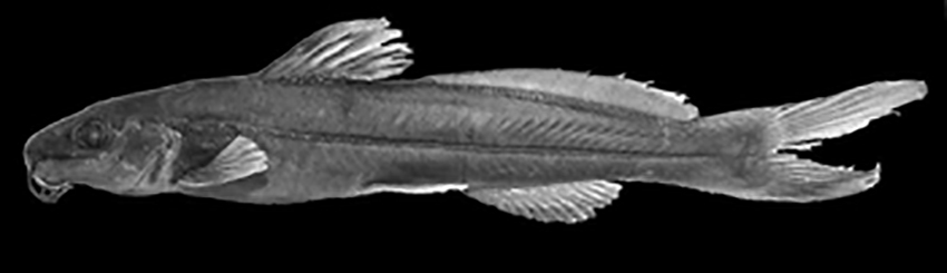 Rhamdella cainguae, holotype (photo from publication)