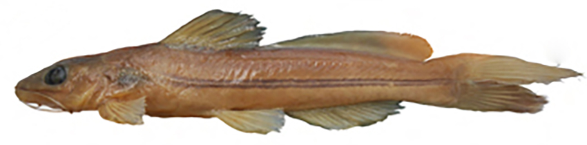 Rhamdella longiuscula (photo from publication)