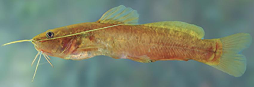 Rhamdia branneri (photo from Casciotta et al. 2016)