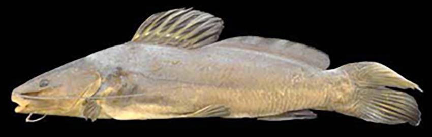 Rhamdia voulezi (photo from Baumgartner et al. 2012)
