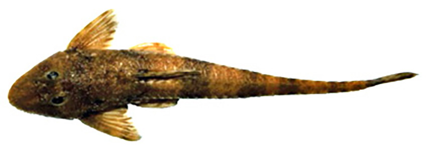 Rineloricaria aff. microlepidogaster (photo: Wilson S. Serra, from publication)