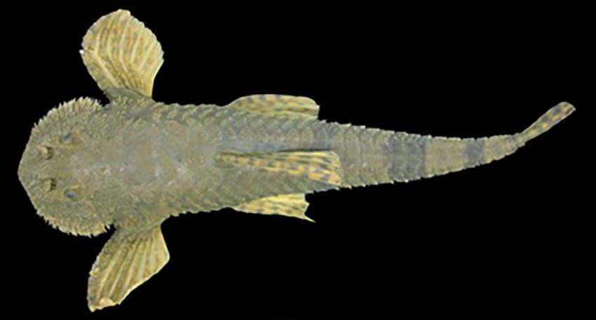 Rineloricaria steinbachi (photo from Rodriguez et al. 2008)