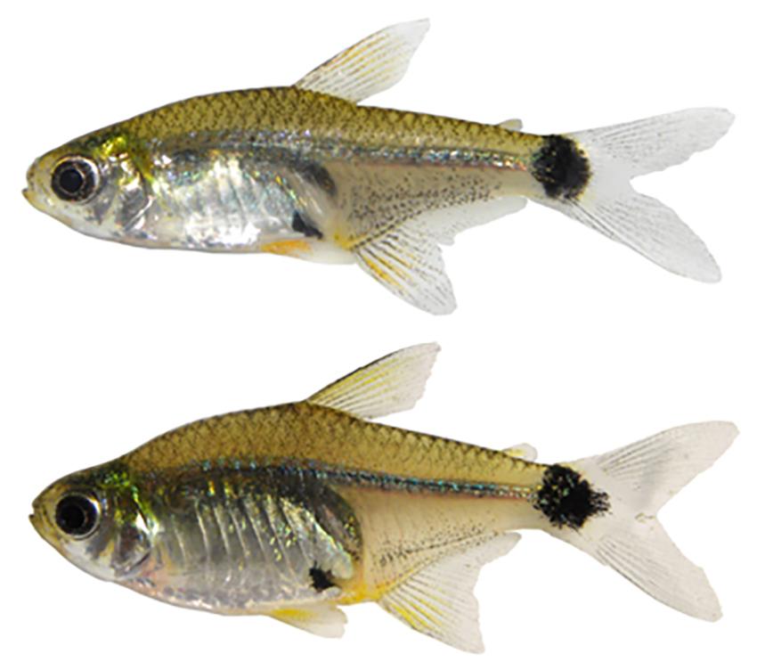 Serrapinnus kriegi (photo from publication)