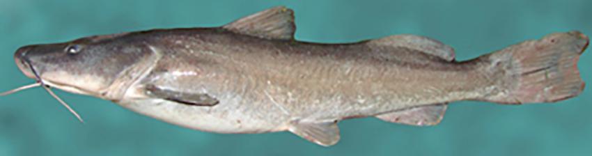 Steindachneridion melanodermatum (photos from Casciotta et al. 2016)