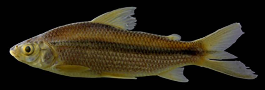 Steindachnerina nigrotaenia (photo from Aguilera et al., 2018)