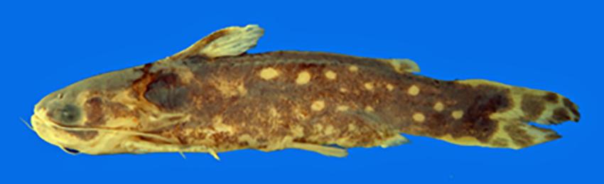 Tatia jaracatia (photo from publication)