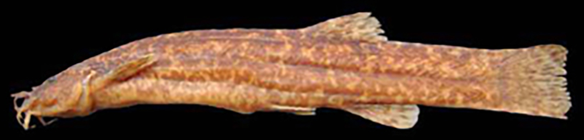 Trichomycterus stawiarski (photo from Baumgartner et al. 2012)