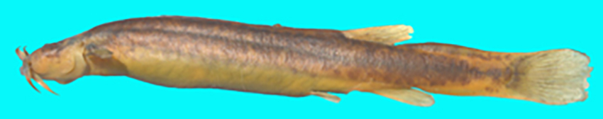 Trichomycterus varii, holotype (photo from publication)